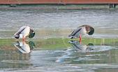 Mallards on ice. — Stock Photo