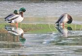 Mallards on frozen lake. — Stock Photo