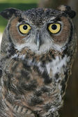 Great horned owl. — 图库照片