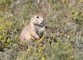 Cane della prateria mangiare erba. — Foto Stock