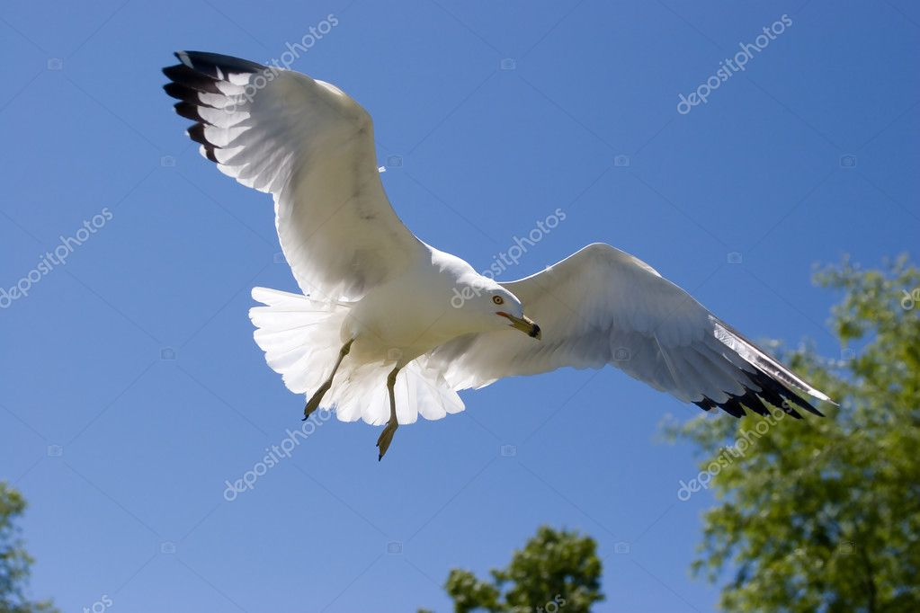 A seagull in flight close to the ground looking for food in eastern Washington. — Stock Photo #4890518