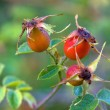 Stock Photo: Three wild rose hips.