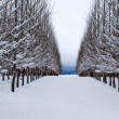 Rows of snow covered trees. — Stock Photo #4913059
