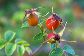 Three wild rose hips. — Stock Photo