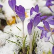 Snow covered crocuses. - Stock Photo