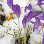 Snow covered crocuses. — Stock Photo