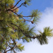 Pine tree against blue sky. — Lizenzfreies Foto