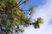 Pino contra el cielo azul. — Foto de Stock