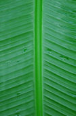 Musaceae Ensete ventricosum, Abyssinian banana, bananier, Musa — Stock Photo