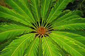 Cycas revoluta (sago cycad) — Stock Photo