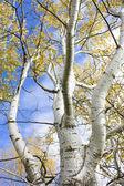 Silver birch coppice — Stock Photo