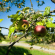 Stock Photo: Apples on a tree