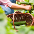 Стоковое фото: Woman harvesting cucumbers