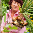 Woman harvesting onions in — Stock Photo