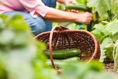 Woman harvesting cucumbers — Stock Photo