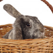 Stock Photo: Easter bunny in basket