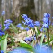 Spring flowers bluebells in the forest — Stock Photo