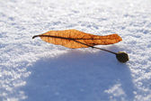 Close-up of linden seeds on the snow — Stock Photo