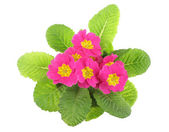 Pink primrose, above view — Stock Photo
