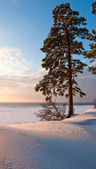Lone pine tree on the beach — Stock Photo