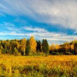 Birches and evergreens - Stock Photo