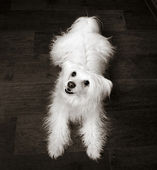 Chinese Crested Dog with hair — Stock Photo