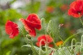 Wild poppies — Stock Photo