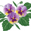 Pansies — Stock Vector