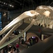 Whale skeleton — Stock Photo