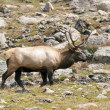 Stock Photo: Elk Bull