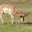 Pronghorn Antelope — Stock Photo