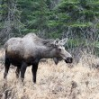 Stock Photo: Female moose in Kenai Peninsula, Alaska