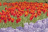 Red tulips and purple hyacinths — Stock Photo