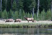 ヘラジカの雄牛と牛のイエローストーン国立公園で — ストック写真