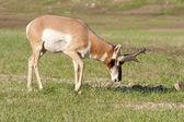 Pronghorn Antelope — Stock Photo