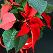 Red poinsettia — Stock Photo #4881803