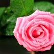 Pink rose on black background — Stock Photo