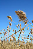 Dry reeds on a blue background — Stock Photo