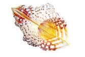 美しい貝殻のクローズ アップ — ストック写真