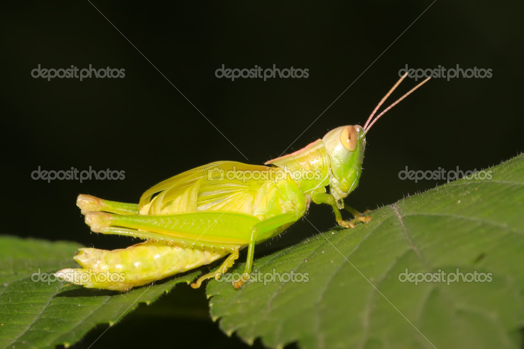 A locust larvae in the leaf — Stock Photo #5331125