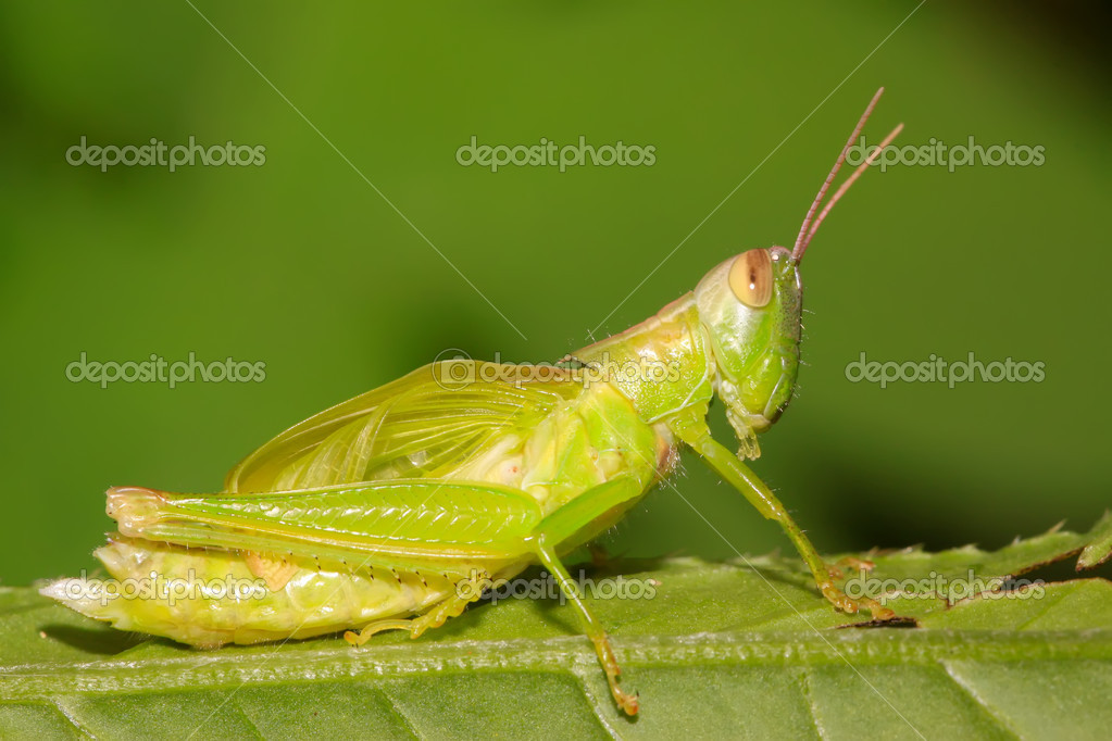 A locust larvae in the leaf — Stock Photo #5331127