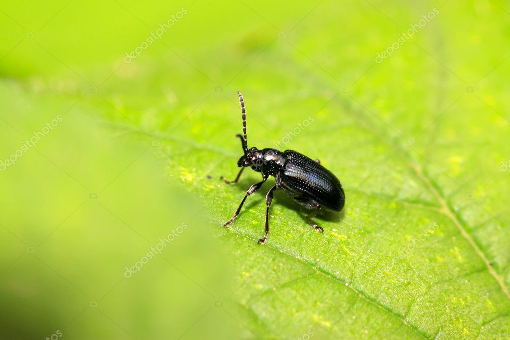 A kind of beetles insects on the green leaf — Stock Photo #5331129