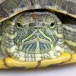 Brazilian tortoise — Stock Photo #5352814