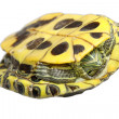 Stock Photo: Brazilian tortoise