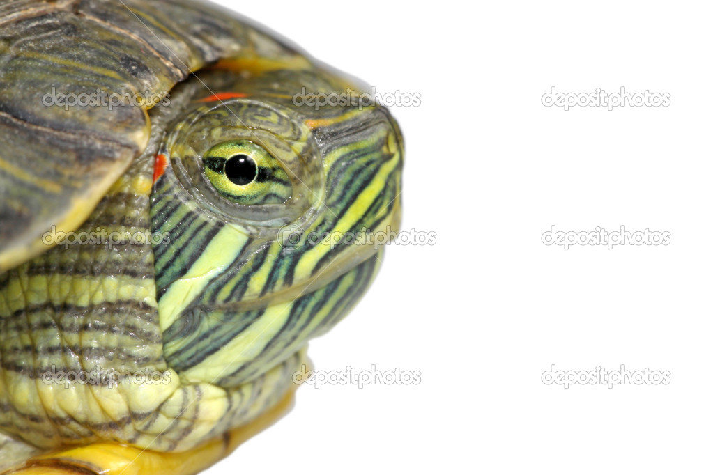 A kind of animal named brazilian tortoise  Stock Photo #5352808
