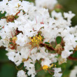 Crape myrtle flowers — Stock Photo