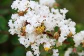 Crape myrtle flowers — Stock Photo