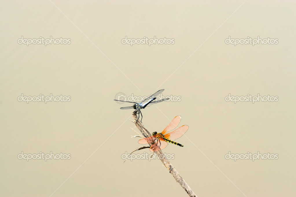 Two dragonflies in the branches to rest — Stock Photo #5363143