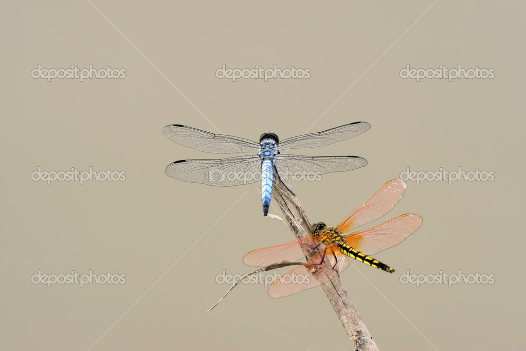 Two dragonflies in the branches to rest — Stock Photo #5363155