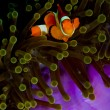 Clownfish looking into the camera from anemone — Stock Photo